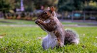 squirrel grass food sit 4k 1542241851 200x110 - squirrel, grass, food, sit 4k - Squirrel, Grass, food