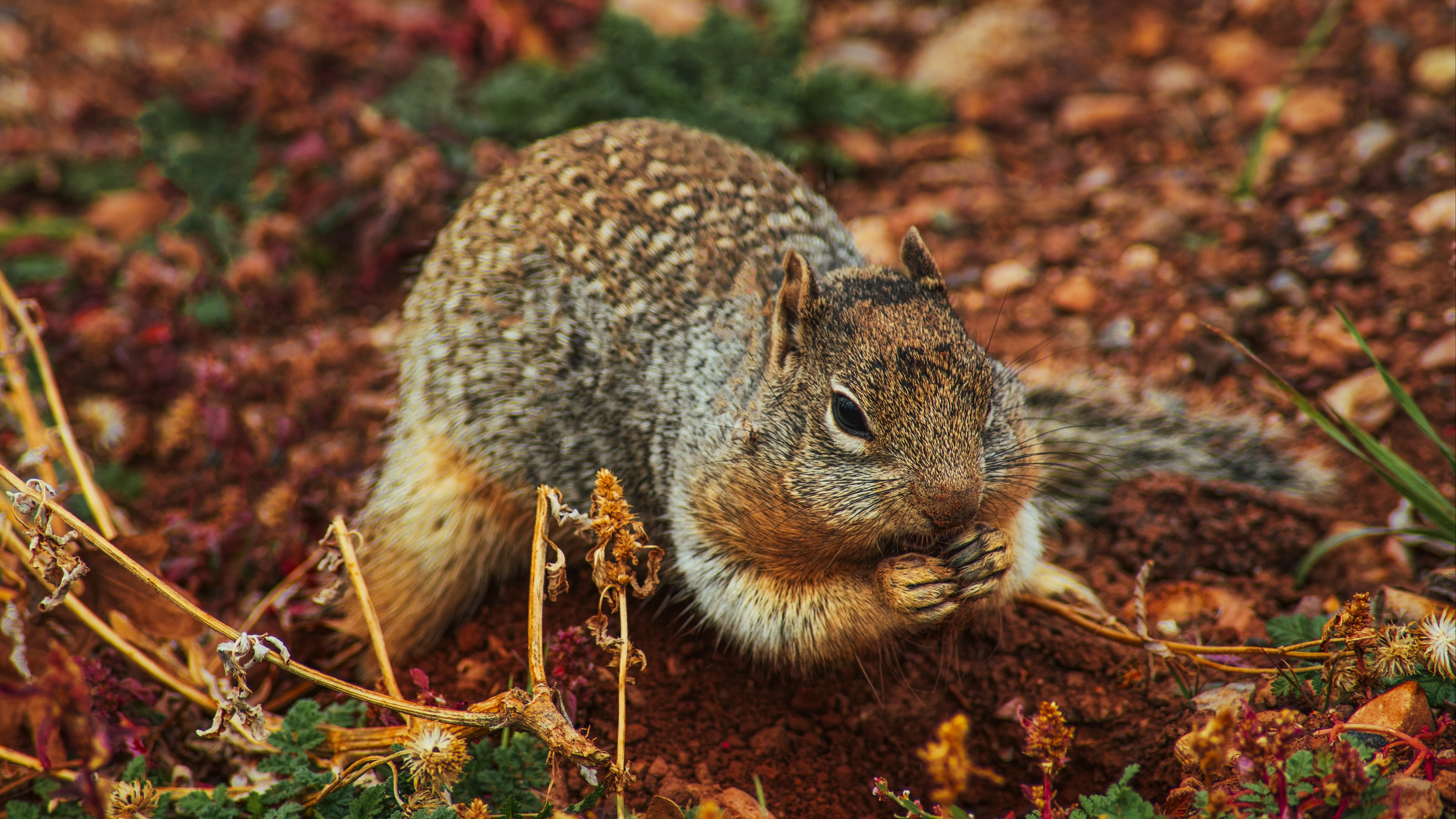 squirrel rodent earth dig 4k 1542242050 - squirrel, rodent, earth, dig 4k - Squirrel, rodent, Earth