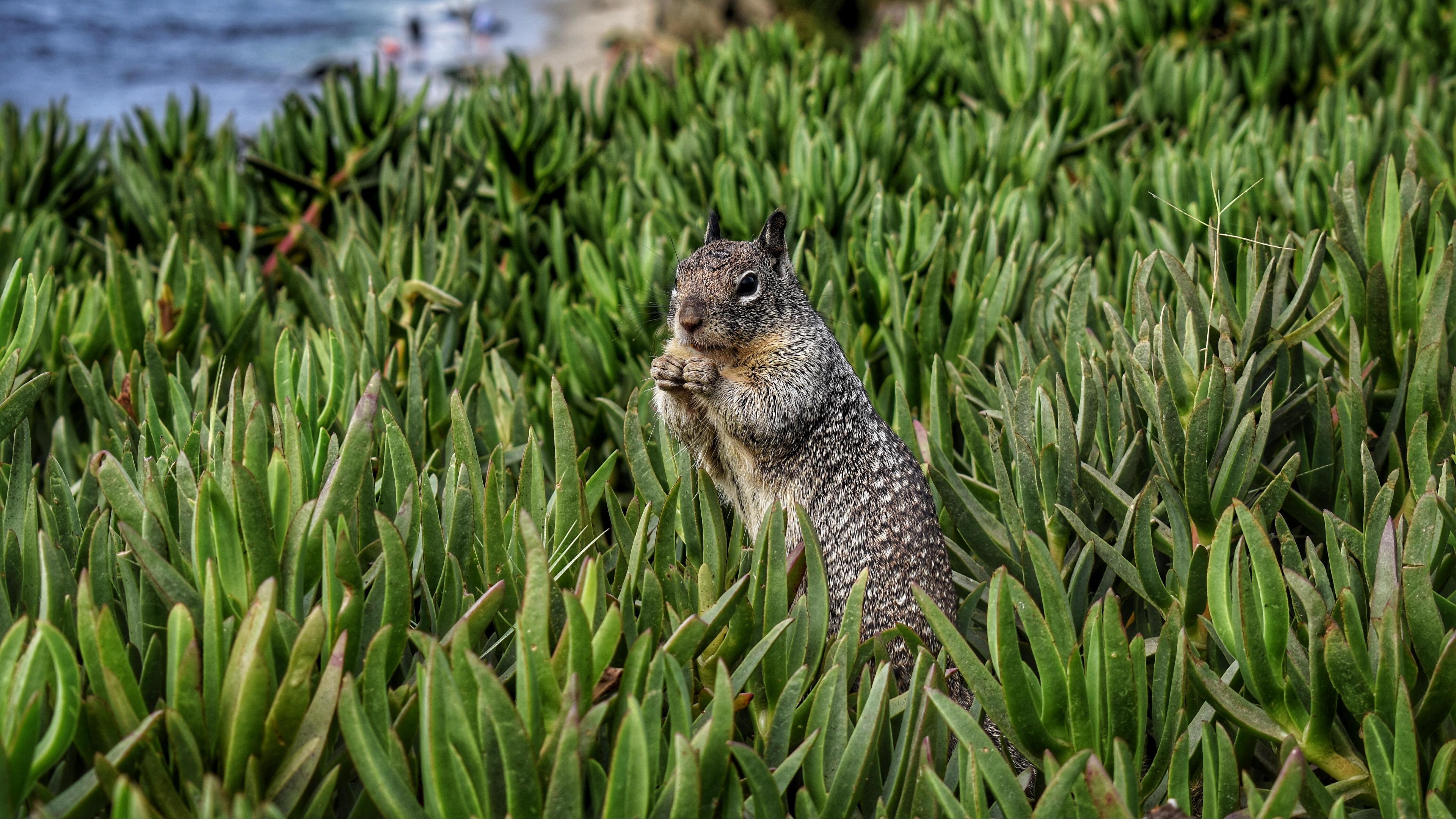 squirrel rodent grass 4k 1542241493 - squirrel, rodent, grass 4k - Squirrel, rodent, Grass