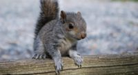 squirrel rodent timber 4k 1542241495 200x110 - squirrel, rodent, timber 4k - timber, Squirrel, rodent