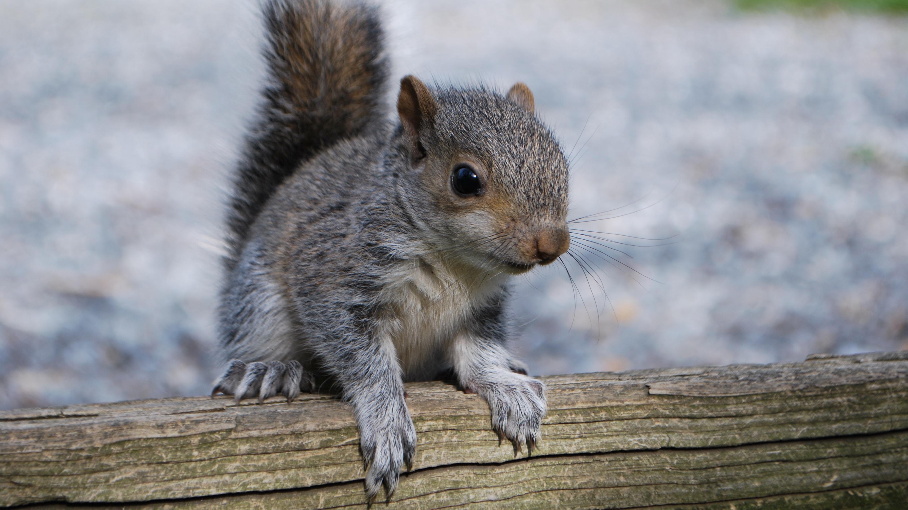 squirrel rodent timber 4k 1542241495 - squirrel, rodent, timber 4k - timber, Squirrel, rodent
