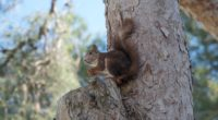 squirrel tree rodent 4k 1542243054 200x110 - squirrel, tree, rodent 4k - tree, Squirrel, rodent