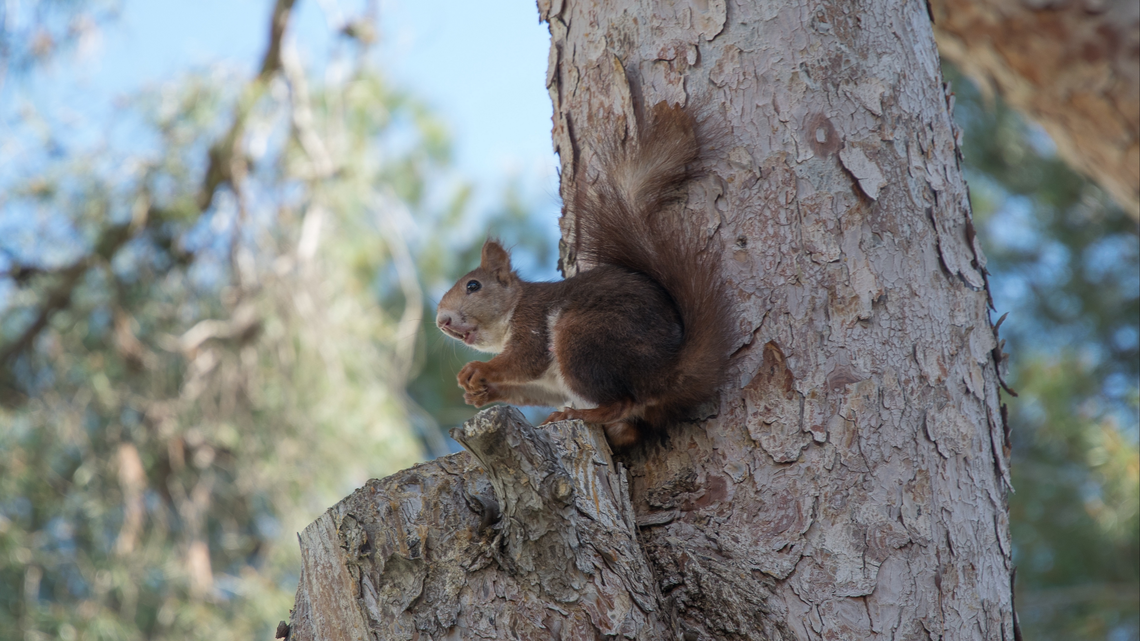 squirrel tree rodent 4k 1542243054 - squirrel, tree, rodent 4k - tree, Squirrel, rodent