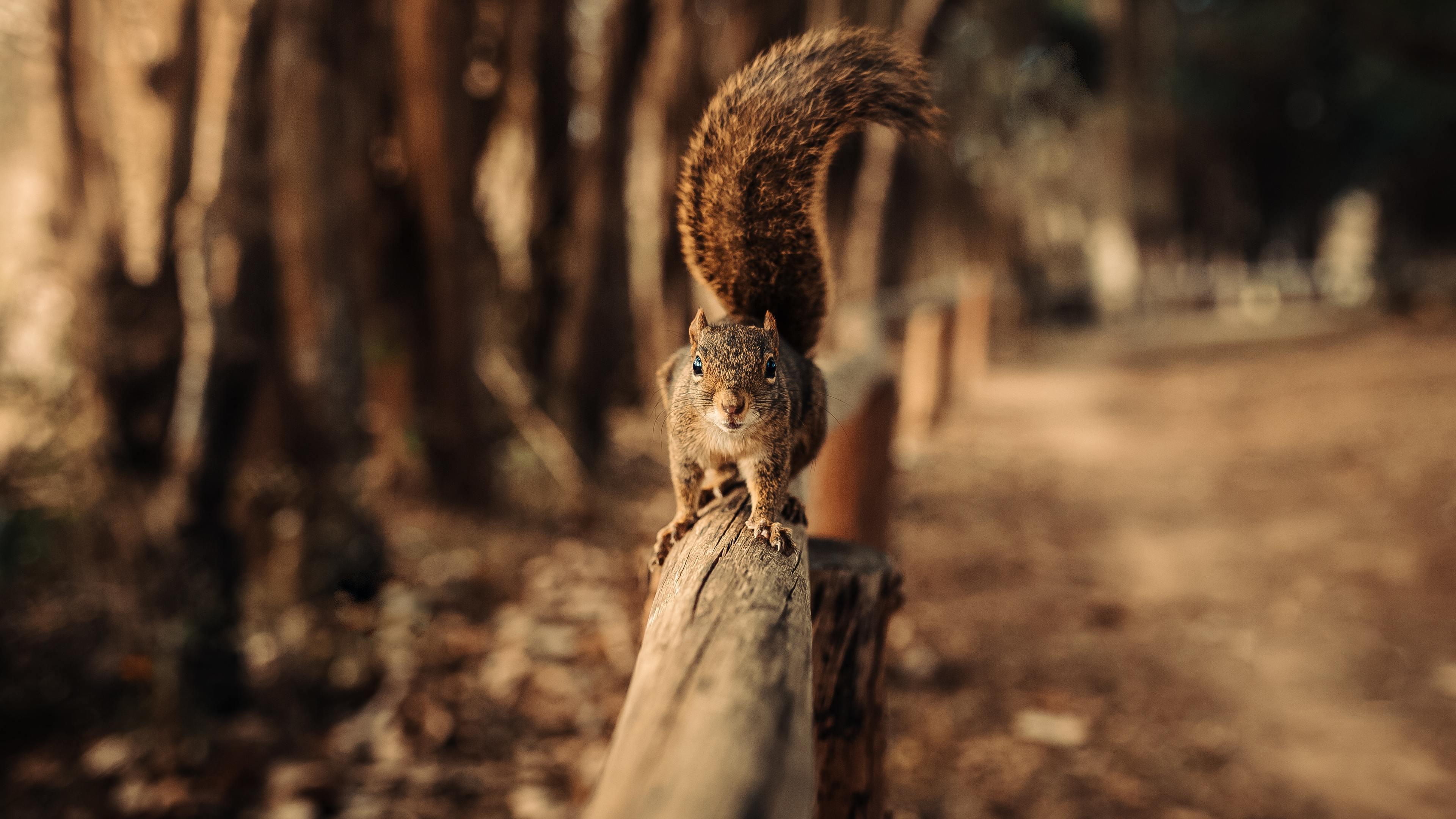 squirrel walking on fence 4k 1542239621 - Squirrel Walking On Fence 4k - squirrel wallpapers, snow wallpapers, macro wallpapers, hd-wallpapers, fence wallpapers, animals wallpapers, 4k-wallpapers