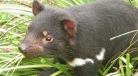 tasmanian devil grass food walk 4k 1542242297 200x110 - tasmanian devil, grass, food, walk 4k - tasmanian devil, Grass, food