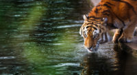 tiger 4k 1542238195 200x110 - Tiger 4k - water wallpapers, tiger wallpapers, reflection wallpapers, animals wallpapers, 4k-wallpapers