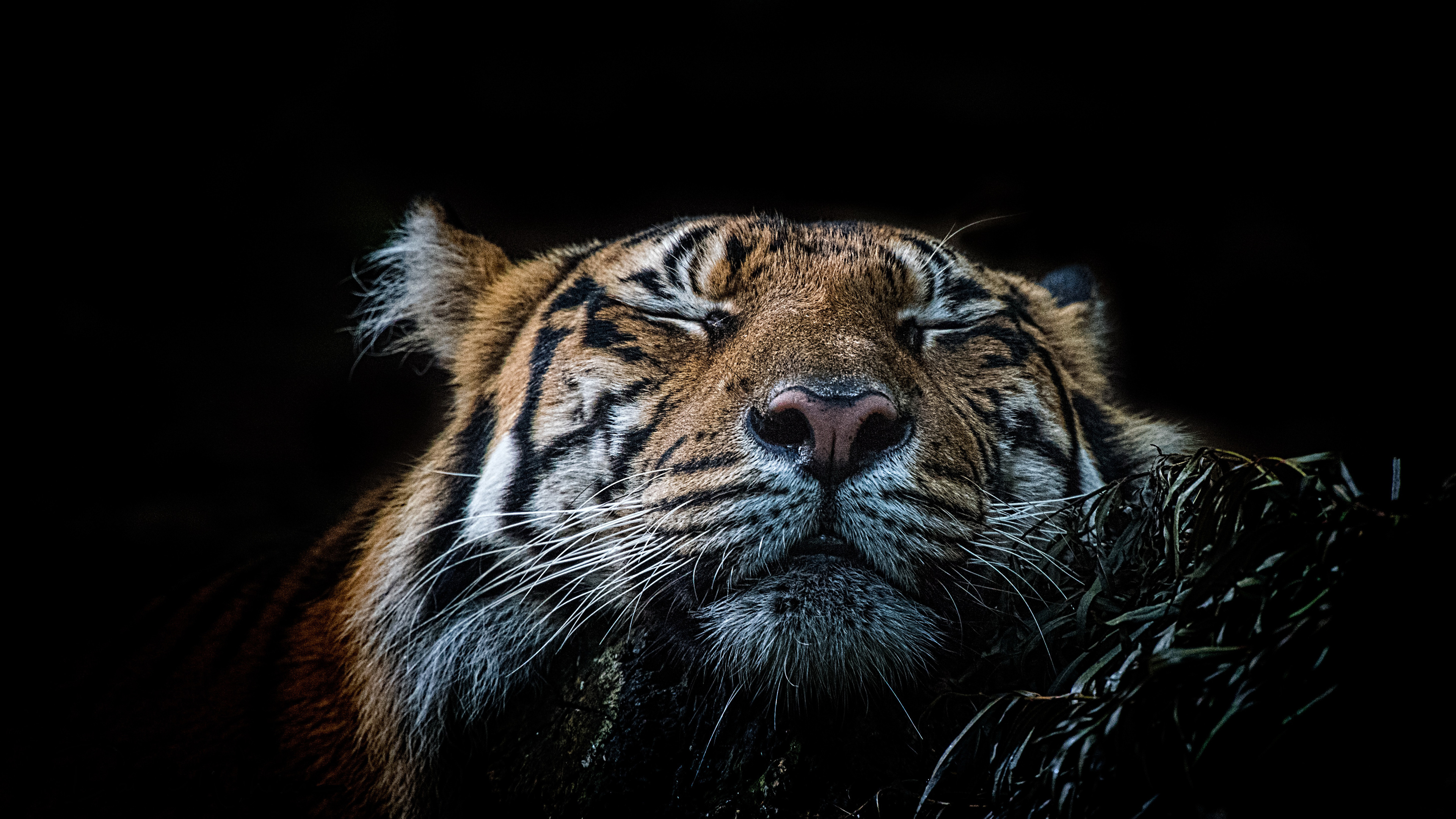tiger 4k 1542238284 - Tiger 4k - wild wallpapers, tiger wallpapers, photography wallpapers, hd-wallpapers, animals wallpapers, 5k wallpapers, 4k-wallpapers