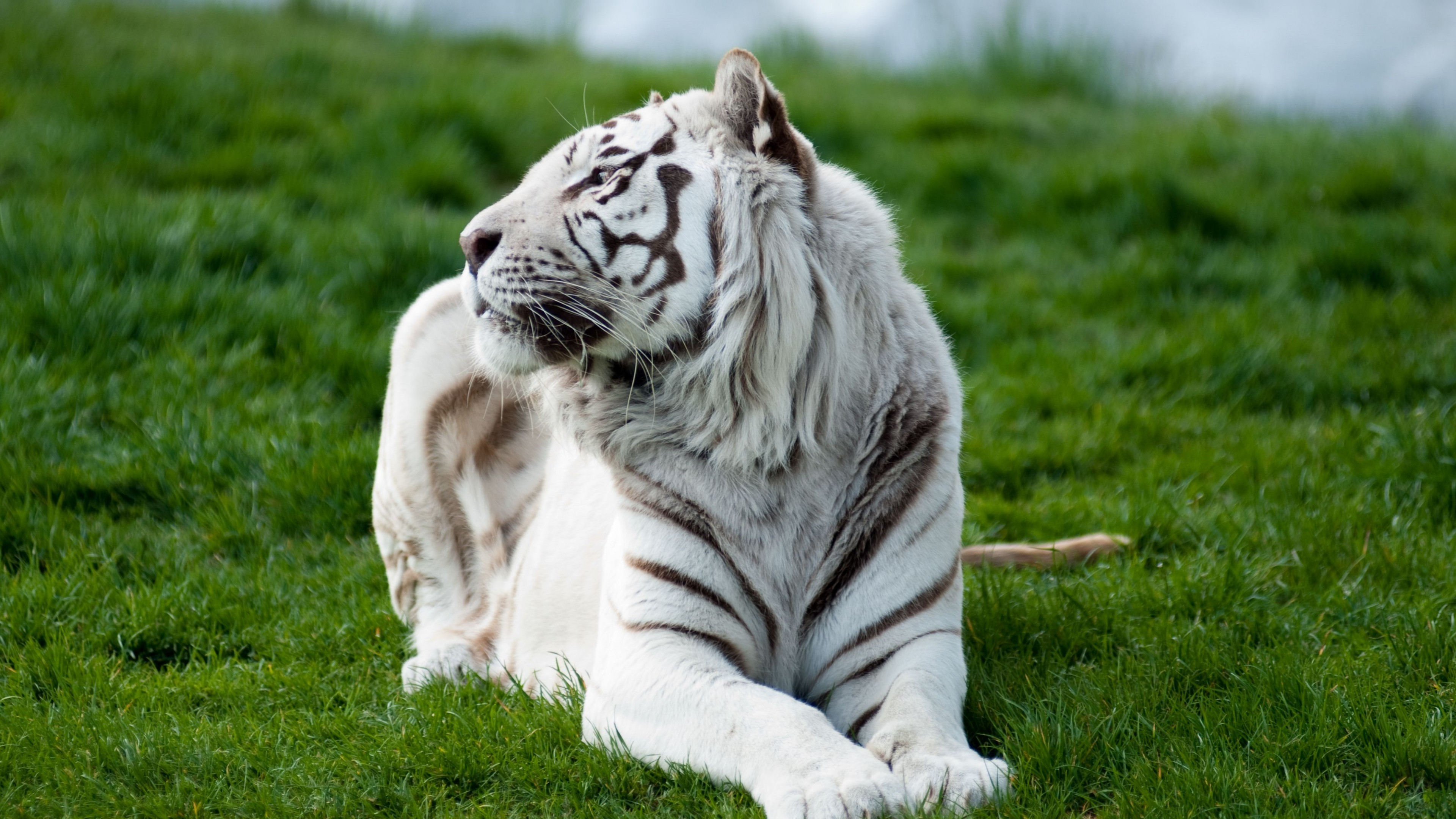 tiger albino 2 4k 1542237821 - Tiger Albino 2 4k - tiger wallpapers 4k, predator wallpapers, king wallpapers, grass wallpapers, animals wallpapers