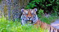 tiger big cat predator look 4k 1542242483 200x110 - tiger, big cat, predator, look 4k - Tiger, Predator, big cat
