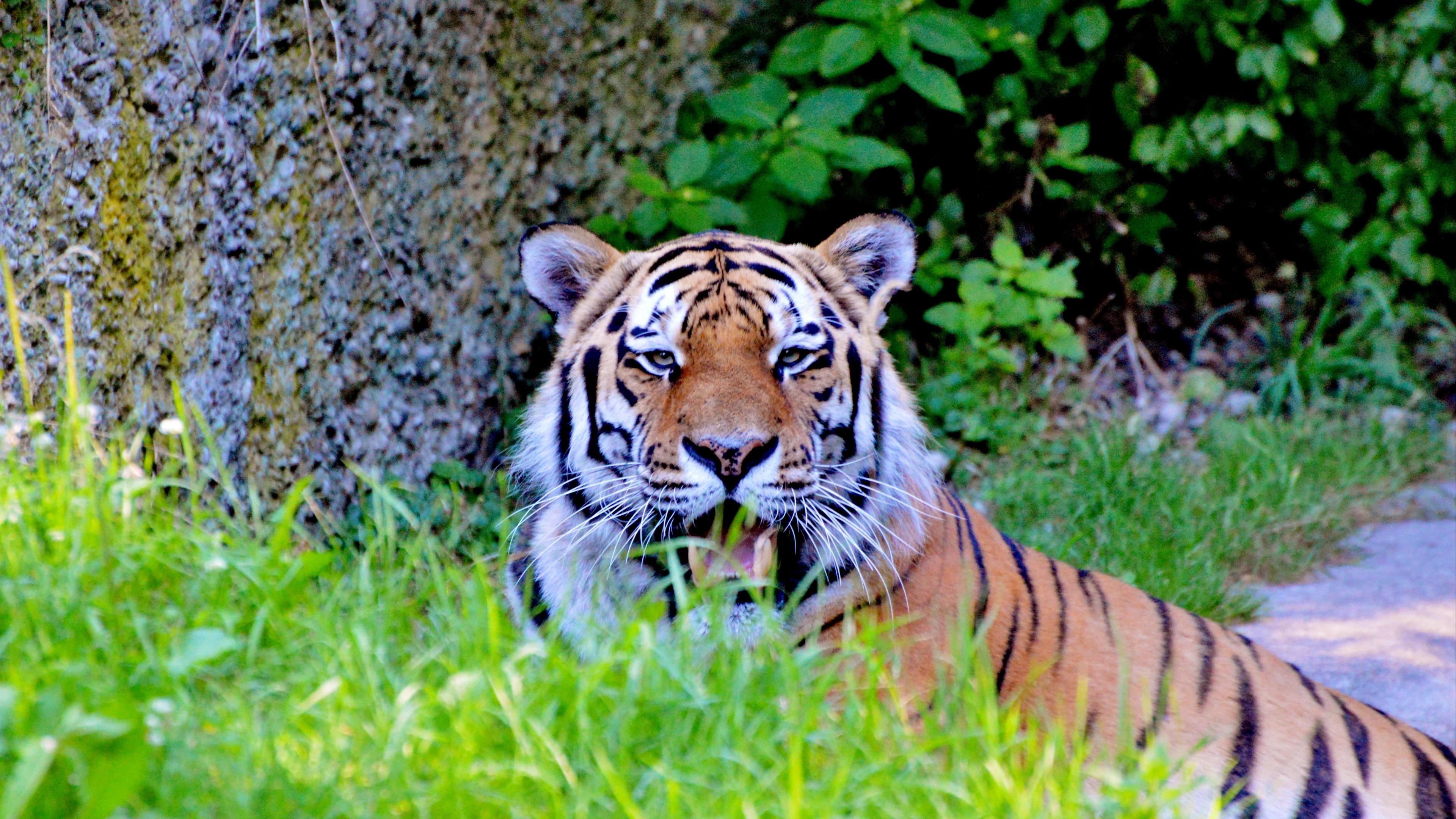tiger big cat predator look 4k 1542242483 - tiger, big cat, predator, look 4k - Tiger, Predator, big cat