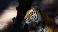 tiger glance 4k 1542239099 200x110 - Tiger Glance 4k - tiger wallpapers, hd-wallpapers, animals wallpapers, 4k-wallpapers