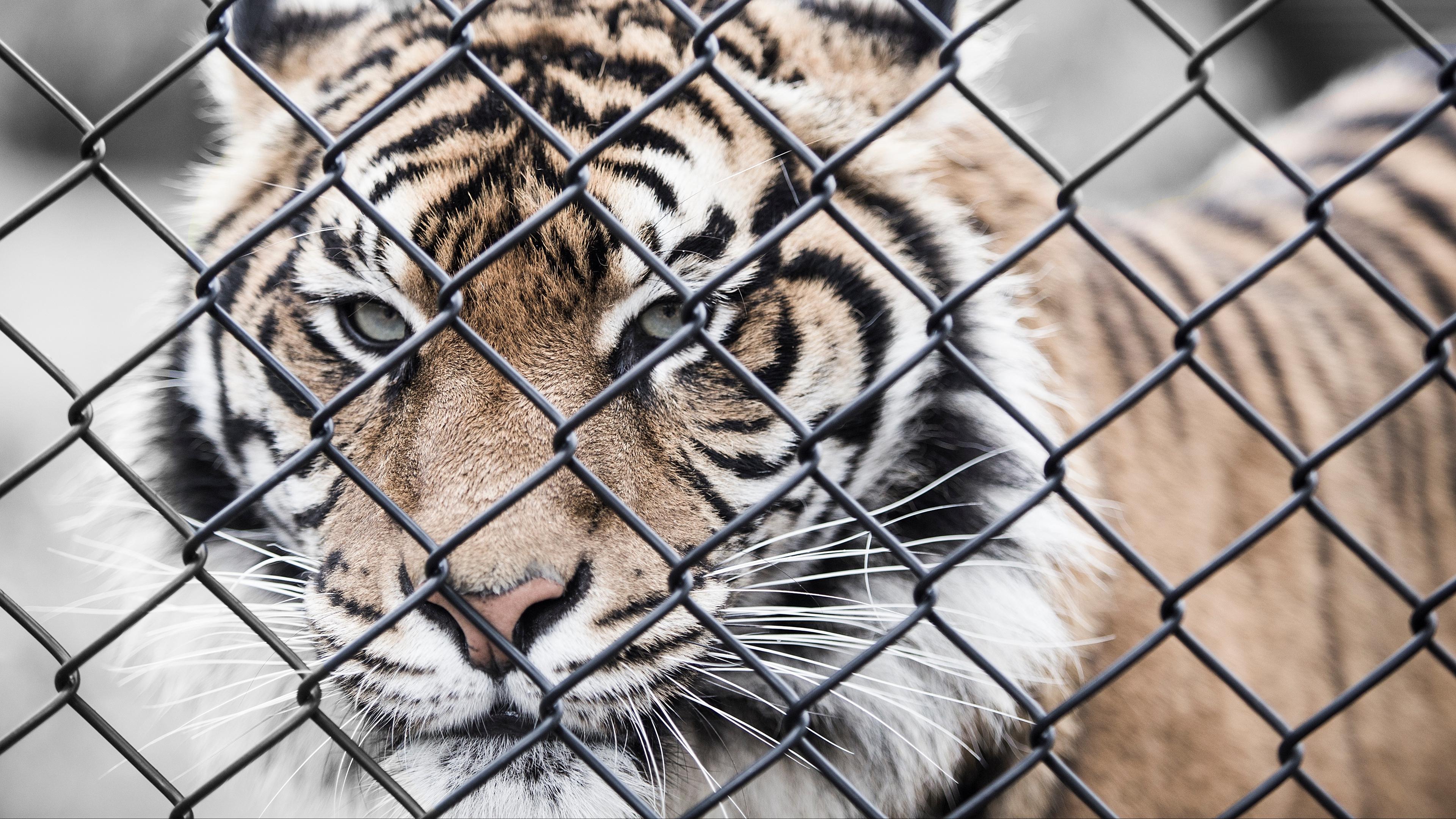 tiger muzzle fence mesh 4k 1542242772 - tiger, muzzle, fence, mesh 4k - Tiger, muzzle, fence