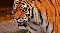 tiger muzzle predator 4k 1542242488 200x110 - tiger, muzzle, predator 4k - Tiger, Predator, muzzle