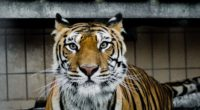 tiger muzzle predator big cat look 4k 1542242777 200x110 - tiger, muzzle, predator, big cat, look 4k - Tiger, Predator, muzzle