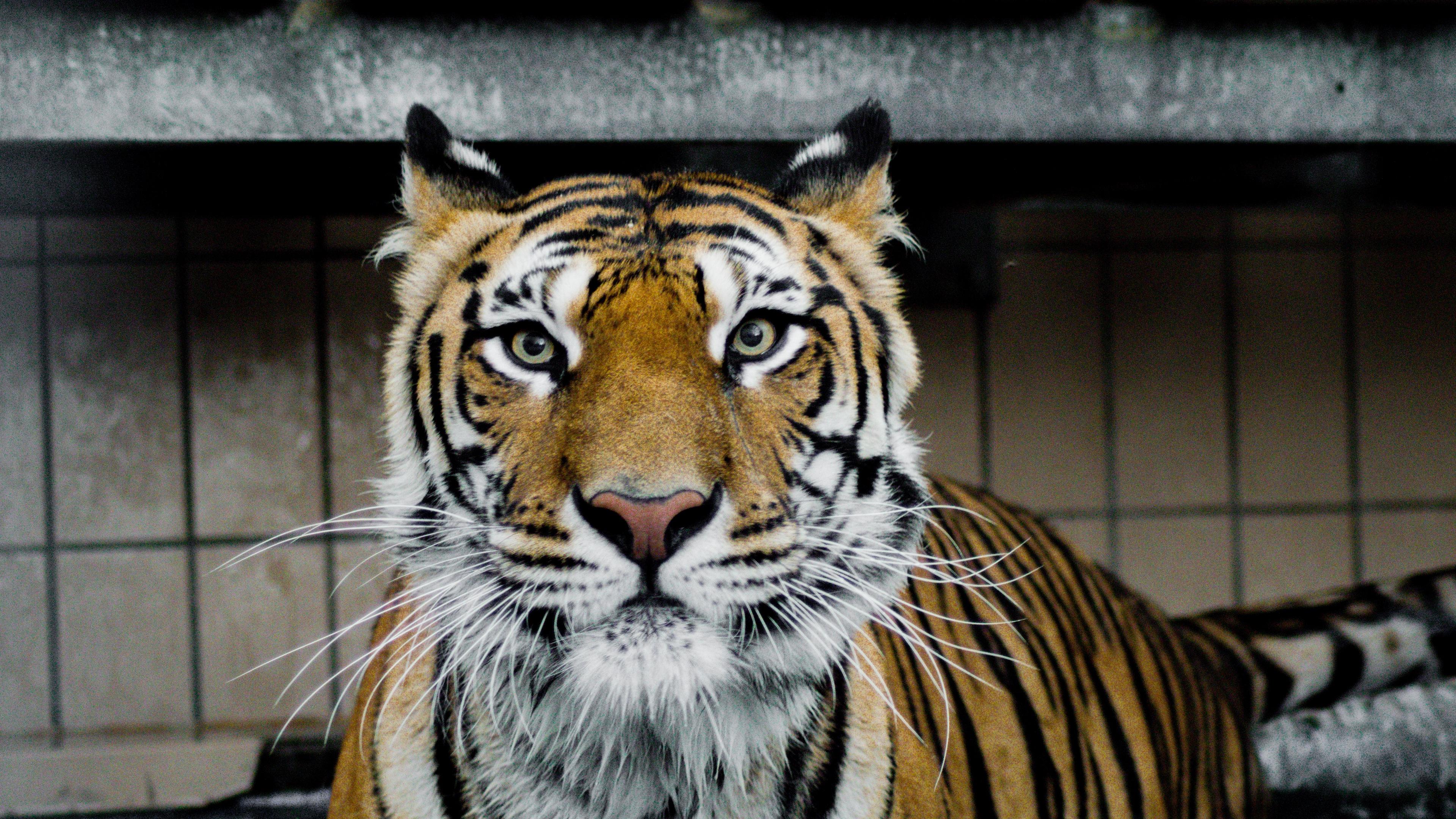 tiger muzzle predator big cat look 4k 1542242777 - tiger, muzzle, predator, big cat, look 4k - Tiger, Predator, muzzle