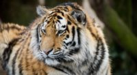 tiger muzzle predator look big cat 4k 1542242784 200x110 - tiger, muzzle, predator, look, big cat 4k - Tiger, Predator, muzzle
