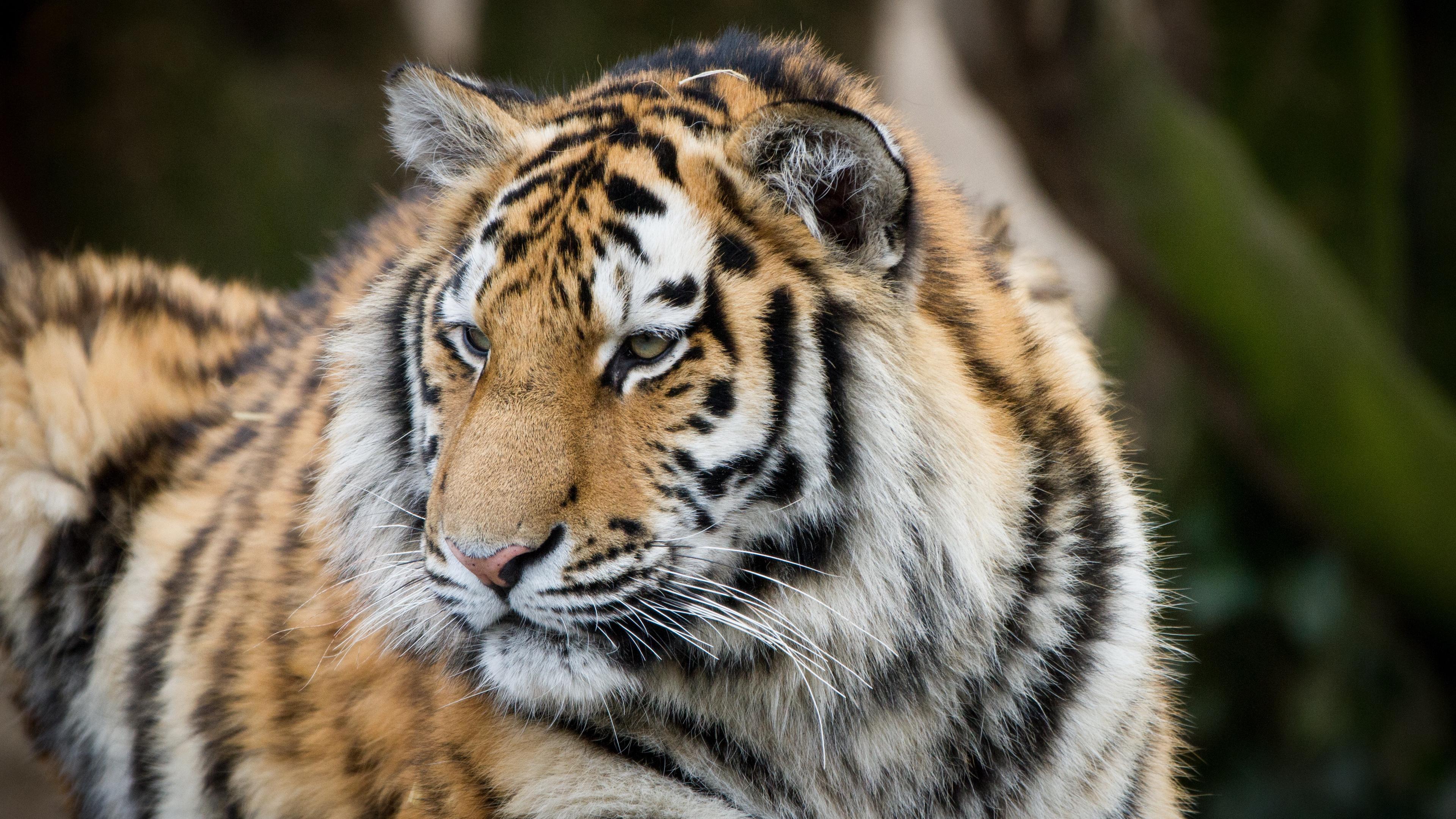 tiger muzzle predator look big cat 4k 1542242784 - tiger, muzzle, predator, look, big cat 4k - Tiger, Predator, muzzle
