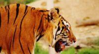 tiger muzzle profile predator 4k 1542241974 200x110 - tiger, muzzle, profile, predator 4k - Tiger, Profile, muzzle