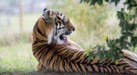 tiger predator back lick 4k 1542242350 200x110 - tiger, predator, back, lick 4k - Tiger, Predator, Back