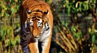 tiger predator big cat walk 4k 1542242296 200x110 - tiger, predator, big cat, walk 4k - Tiger, Predator, big cat