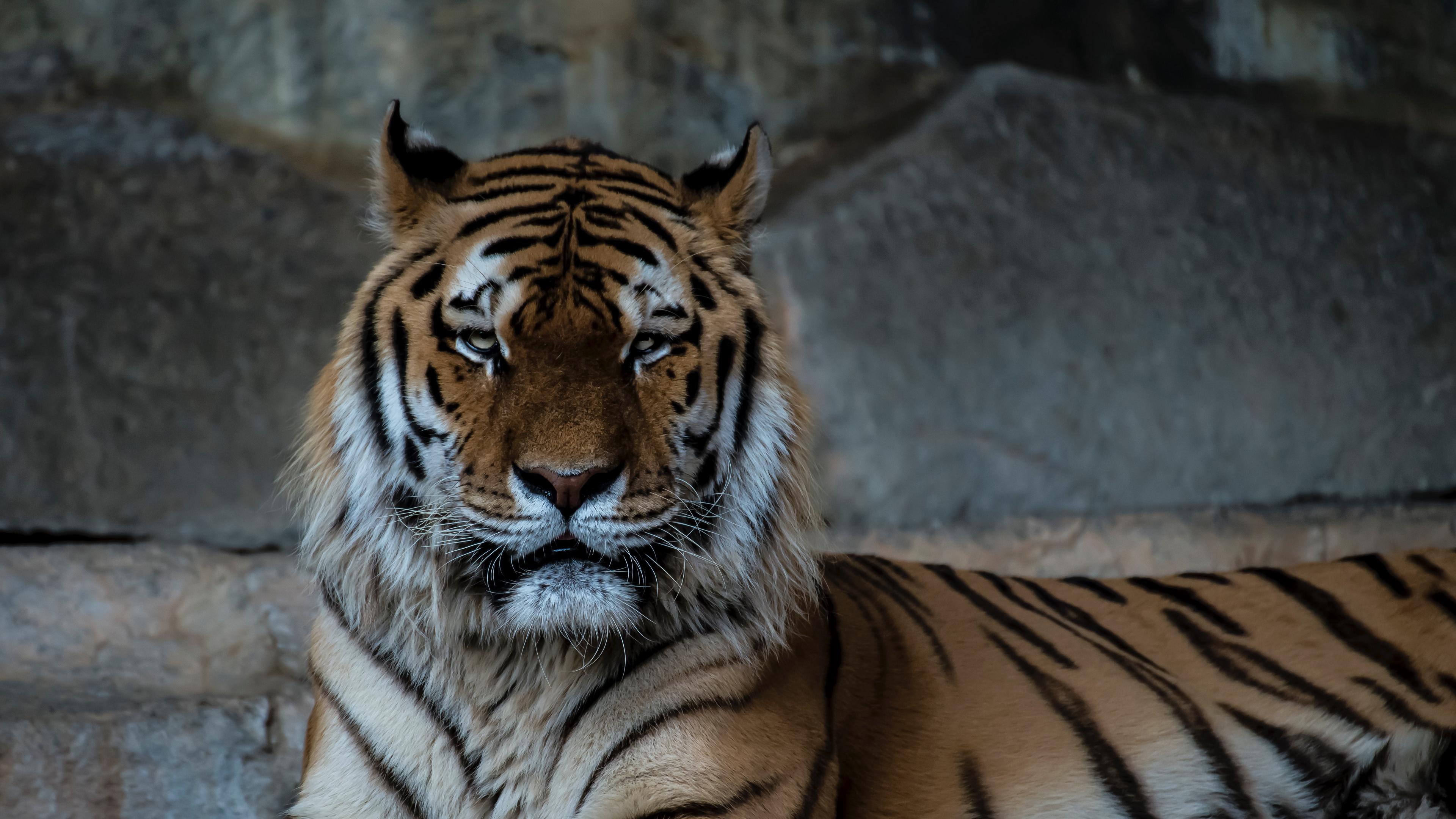 tiger predator muzzle big cat 4k 1542242042 - tiger, predator, muzzle, big cat 4k - Tiger, Predator, muzzle
