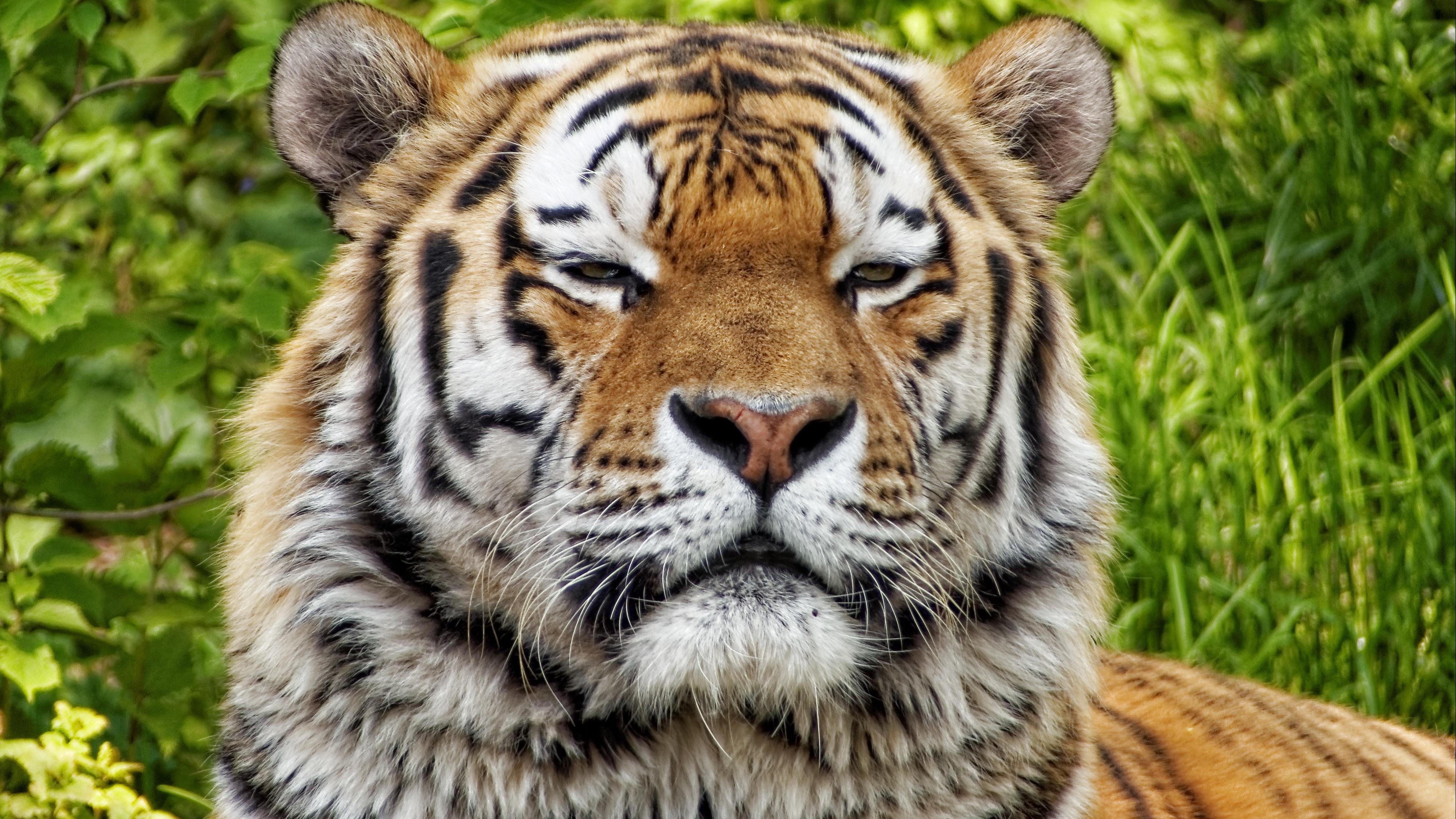 tiger predator muzzle big cat 4k 1542242445 - tiger, predator, muzzle, big cat 4k - Tiger, Predator, muzzle