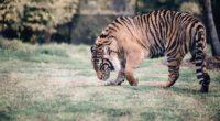 tiger predator walk grass 4k 1542242859 200x110 - tiger, predator, walk, grass 4k - walk, Tiger, Predator