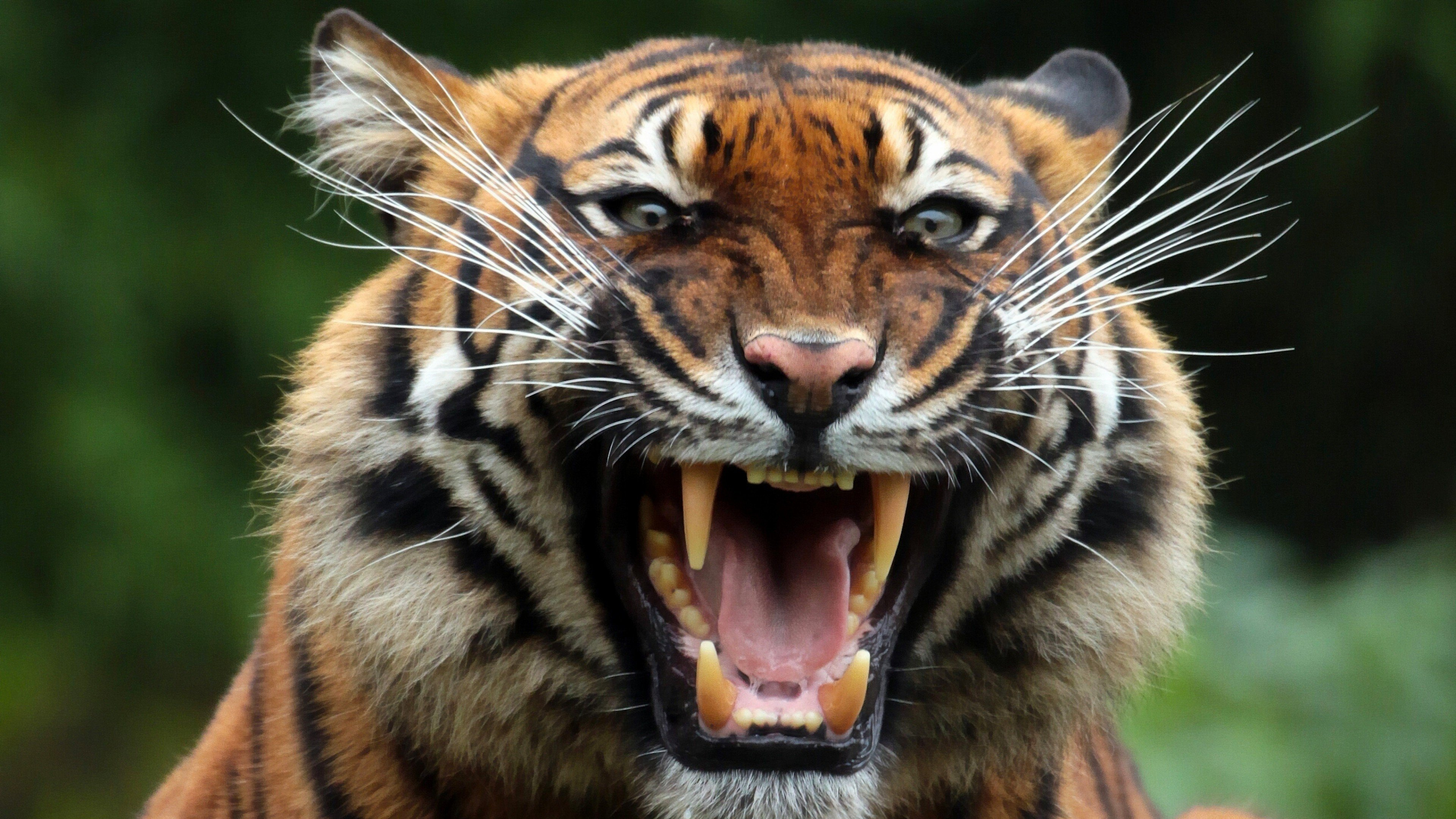 tiger teeths 4k 1542238046 - Tiger Teeths 4k - tiger wallpapers, teeth wallpapers, predator wallpapers, animals wallpapers