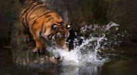 tiger water 4k 1542238751 200x110 - Tiger Water 4k - tiger wallpapers, hd-wallpapers, animals wallpapers, 4k-wallpapers