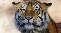 tiger wild animal 4k 1542239104 200x110 - Tiger Wild Animal 4k - wild wallpapers, tiger wallpapers, predator wallpapers, hd-wallpapers, animals wallpapers, 4k-wallpapers