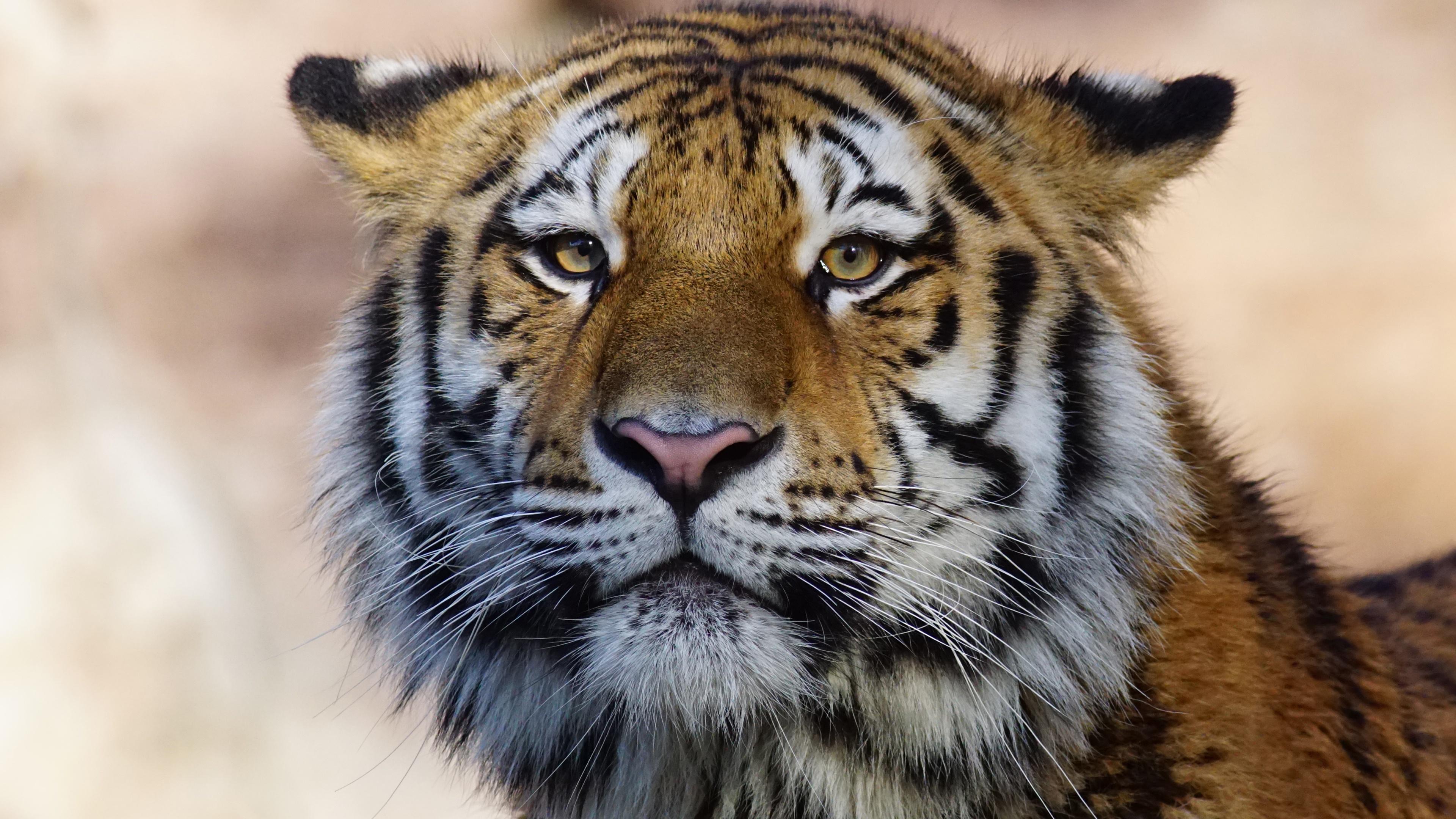 tiger wild animal 4k 1542239104 - Tiger Wild Animal 4k - wild wallpapers, tiger wallpapers, predator wallpapers, hd-wallpapers, animals wallpapers, 4k-wallpapers