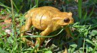 toad amphibian frog grass 4k 1542242924 200x110 - toad, amphibian, frog, grass 4k - toad, Frog, amphibian