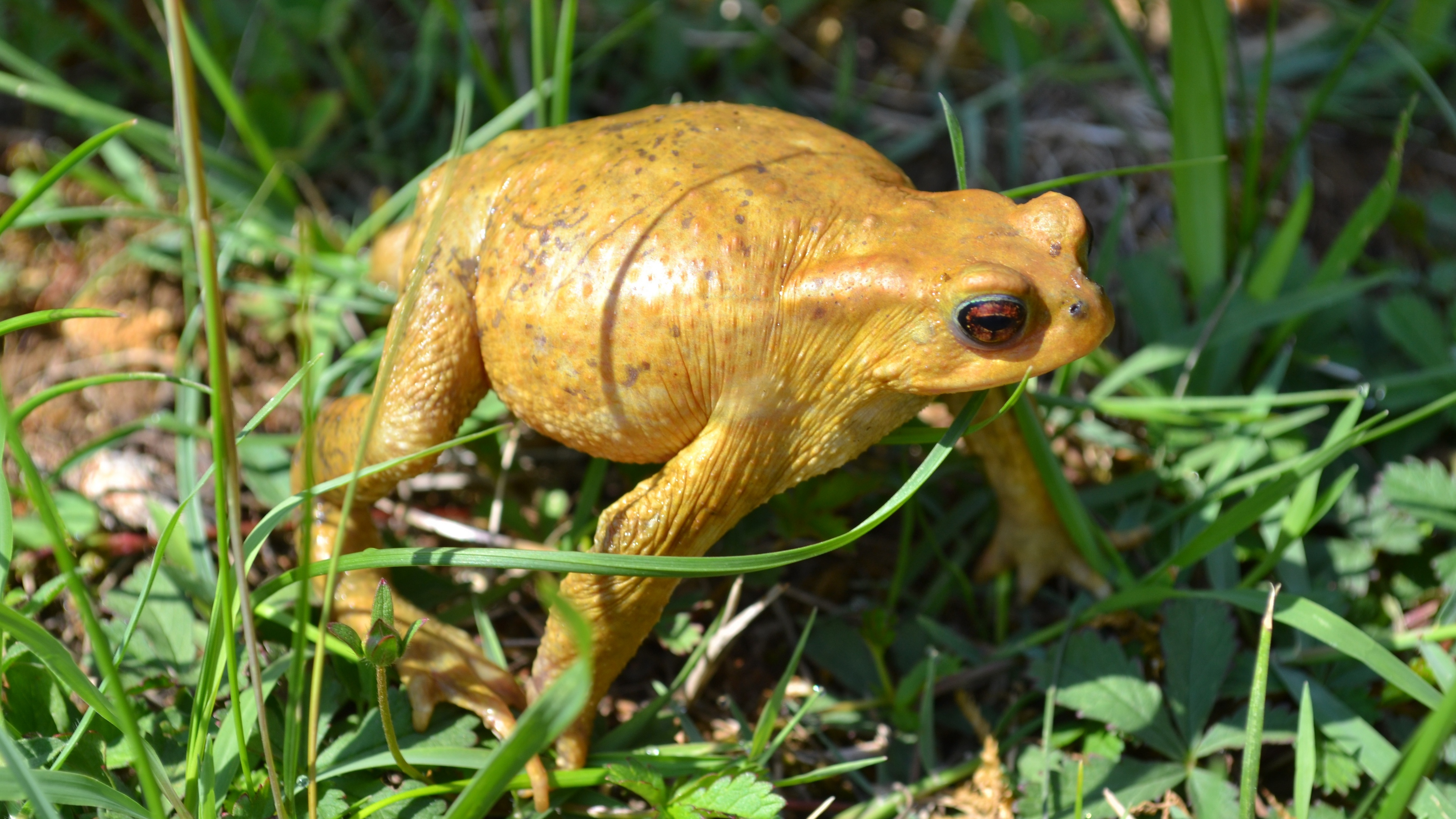 toad amphibian frog grass 4k 1542242924 - toad, amphibian, frog, grass 4k - toad, Frog, amphibian
