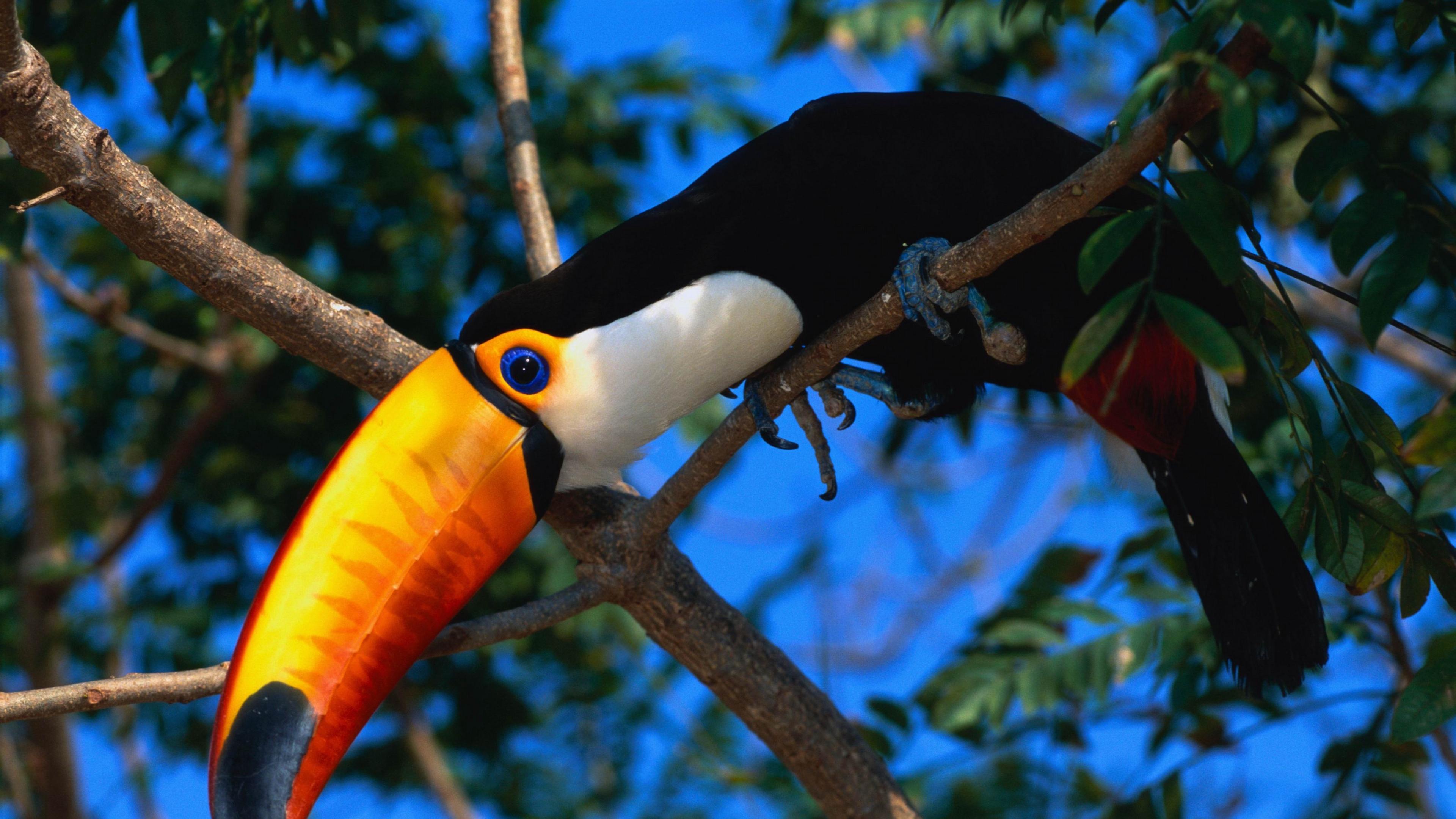 toucan tree beak color 4k 1542242816 - toucan, tree, beak, color 4k - tree, Toucan, beak