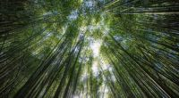 trees bottom view bamboo light 4k 1541116799 200x110 - trees, bottom view, bamboo, light 4k - Trees, bottom view, bamboo
