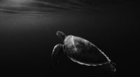 turtle oled 4k 1542239374 200x110 - Turtle Oled 4k - turtle wallpapers, oled wallpapers, monochrome wallpapers, hd-wallpapers, dark wallpapers, black wallpapers, black and white wallpapers, animals wallpapers, 4k-wallpapers