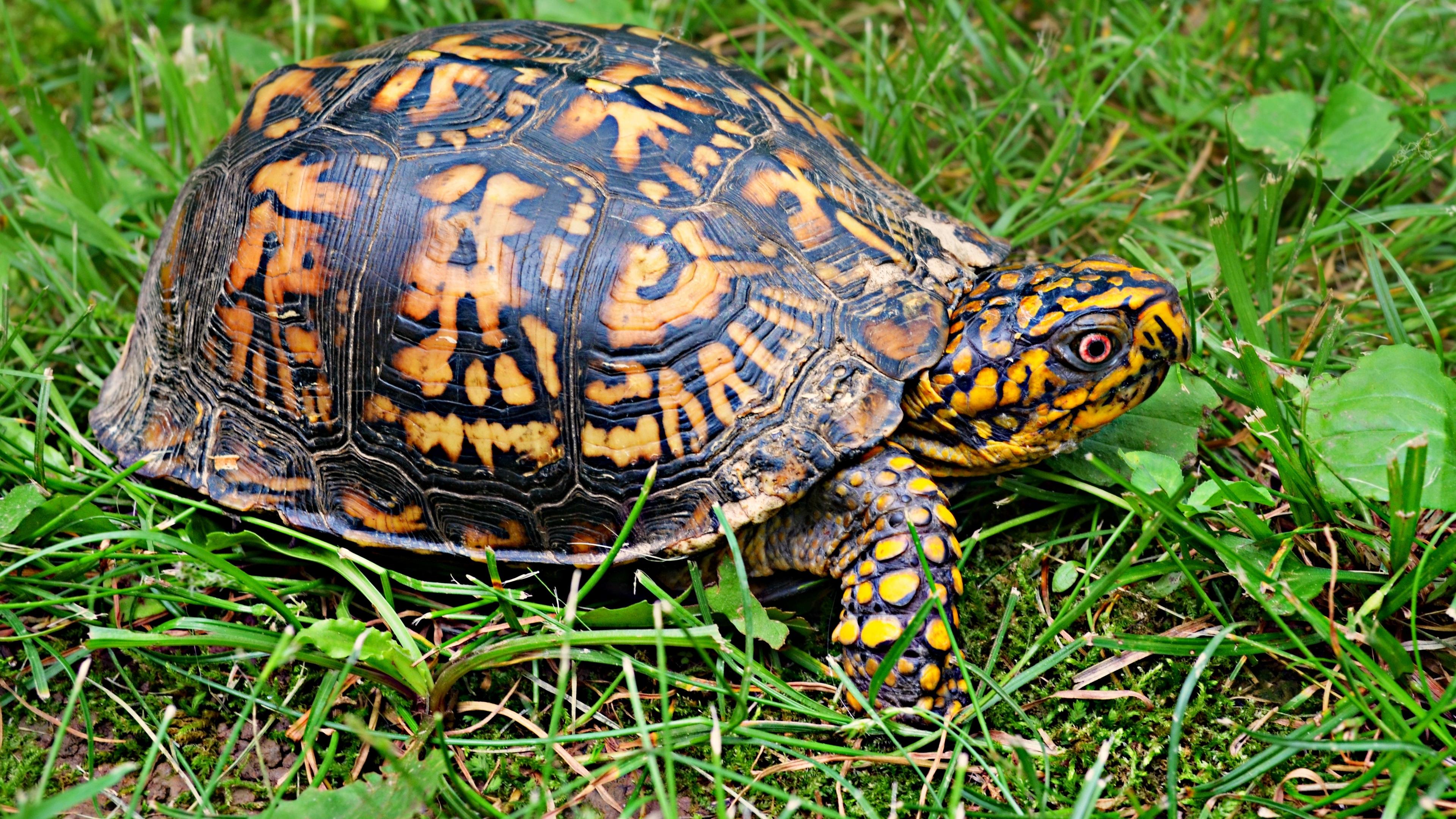 turtle shell grass 4k 1542242490 - turtle, shell, grass 4k - Turtle, Shell, Grass