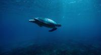 turtle underwater 4k 1542239395 200x110 - Turtle Underwater 4k - underwater wallpapers, turtle wallpapers, sea wallpapers, reptile wallpapers, hd-wallpapers, animals wallpapers, 4k-wallpapers