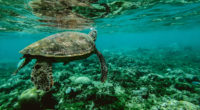 turtle underwater 1542238889 200x110 - Turtle Underwater - underwater wallpapers, turtle wallpapers, sea wallpapers, reptile wallpapers, hd-wallpapers, animals wallpapers, 4k-wallpapers