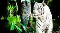 white tiger 4k 1542238169 200x110 - White Tiger 4k - white wallpapers, tiger wallpapers, hd-wallpapers, animals wallpapers, 4k-wallpapers