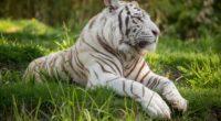 white tiger 4k 1542238771 200x110 - White Tiger 4k - white tiger wallpapers, tiger wallpapers, hd-wallpapers, animals wallpapers, 4k-wallpapers