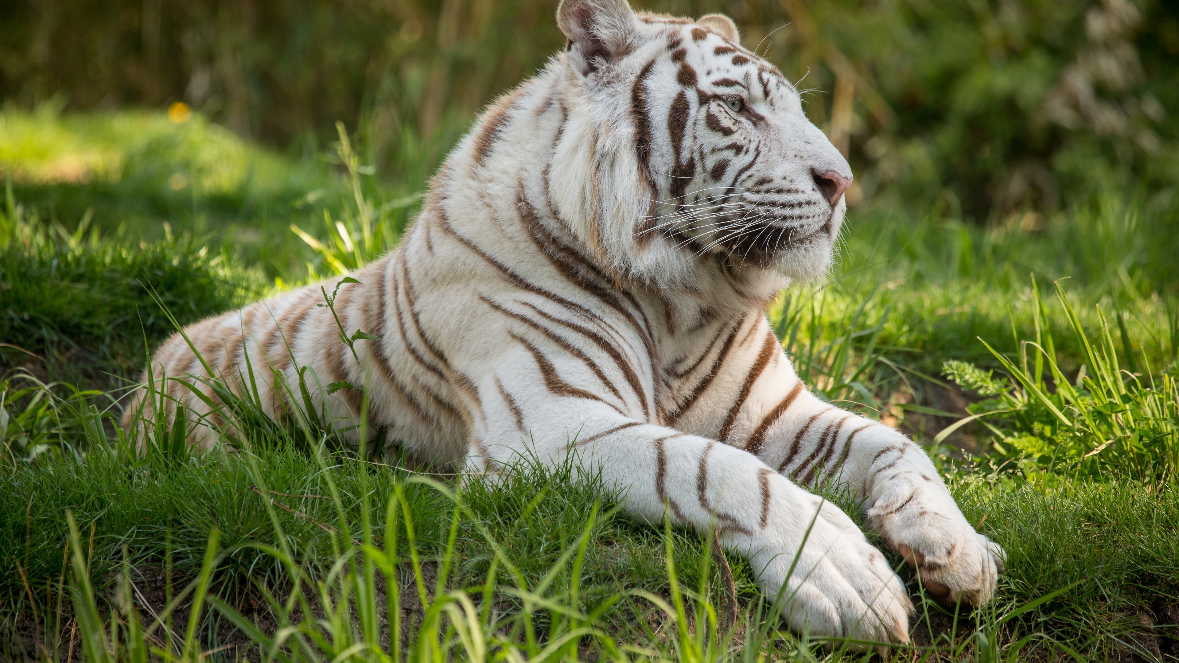 Wallpaper 4k White Tiger 4k 4k Wallpapers Animals Wallpapers Hd Wallpapers Tiger Wallpapers White Tiger Wallpapers