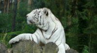 white tiger bengal tiger predator 4k 1542241353 200x110 - white tiger, bengal tiger, predator 4k - white tiger, Predator, bengal tiger