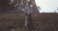 wild cat 4k 1542239382 200x110 - Wild Cat 4k - hd-wallpapers, cat wallpapers, animals wallpapers, 4k-wallpapers