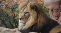 wild lion 4k 1542239358 200x110 - Wild Lion 4k - lion wallpapers, hd-wallpapers, animals wallpapers, 4k-wallpapers