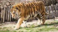 wild tiger in zoo 4k 1542238872 200x110 - Wild Tiger In Zoo 4k - zoo wallpapers, tiger wallpapers, hd-wallpapers, animals wallpapers, 4k-wallpapers