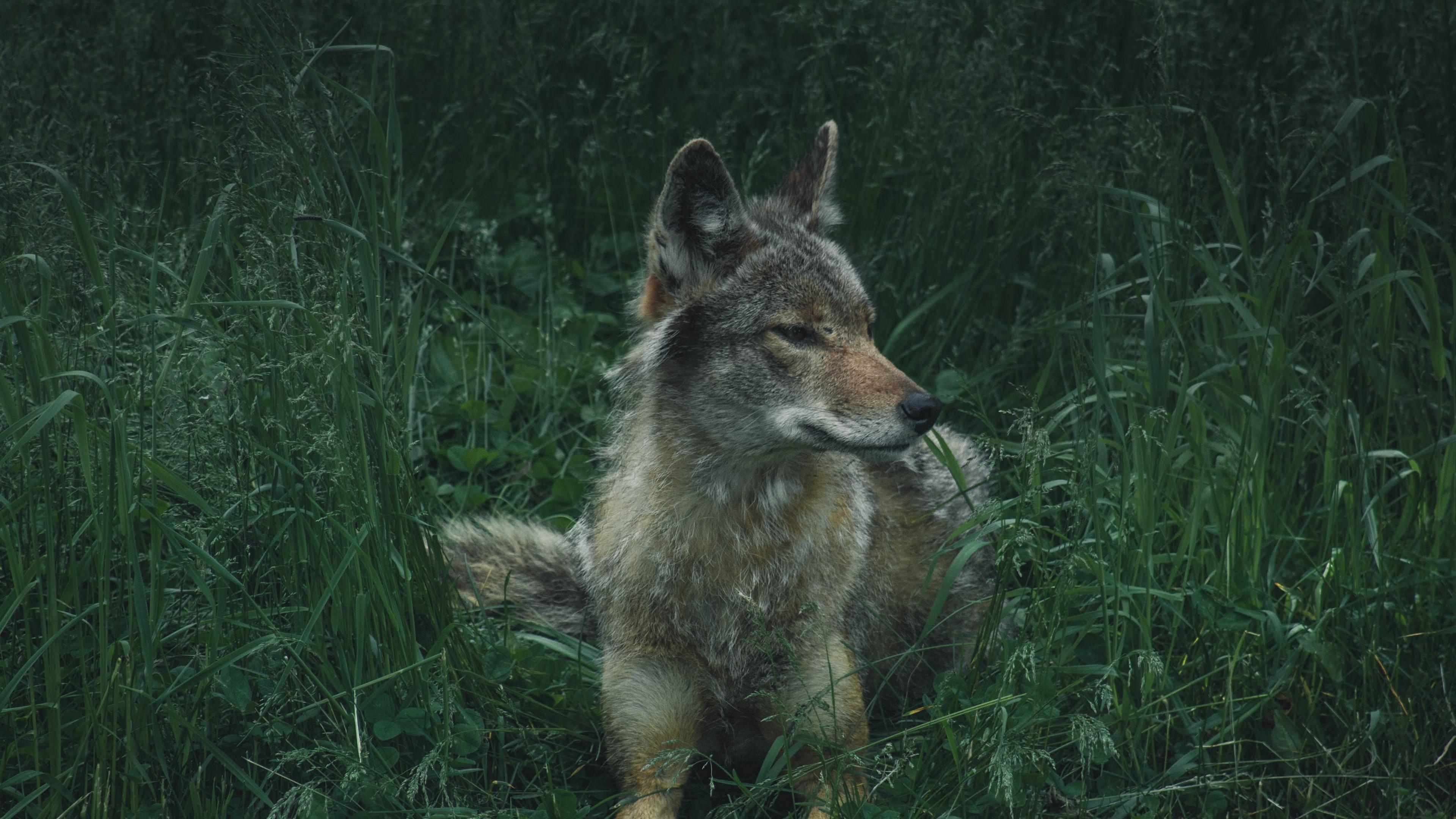 wolf predator grass 4k 1542242068 - wolf, predator, grass 4k - Wolf, Predator, Grass