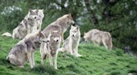 wolves family flock 4k 1542242680 200x110 - wolves, family, flock 4k - Wolves, flock, Family