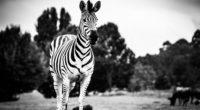 zebra black and white 4k 1542238299 200x110 - Zebra Black And White 4k - zebra wallpapers, hd-wallpapers, black and white wallpapers, animals wallpapers, 5k wallpapers, 4k-wallpapers