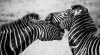 zebras black and white 4k 1542238609 200x110 - Zebras Black And White 4k - zebra wallpapers, monochrome wallpapers, hd-wallpapers, black and white wallpapers, animals wallpapers, 4k-wallpapers